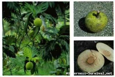 Artocarpus incisa