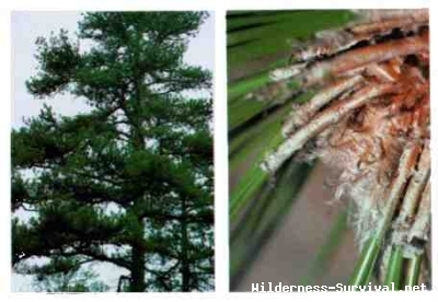 Pinus species