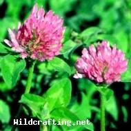 Trifolium spp