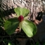 Trillium sessile L.